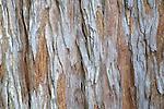 Close-up view of Coastal Redwood tree bark at the Santa Barbara Botanic Garden, Santa Barbara, California, USA