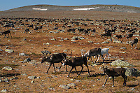 Herd of Reindeer being collected from summer mountain pasture for autumn slaughter, Kungsleden Trail, Lapland, Sweden
