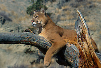 656326403 a captive mountain lion felis concolor watches over his domain from a large tree branch in central montana