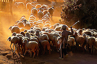 Vietnam Images-children-A little boy with his flock of sheep- Phan Rang