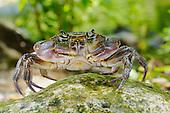 A Freshwater Crab (Potamon fluviatile), Europe