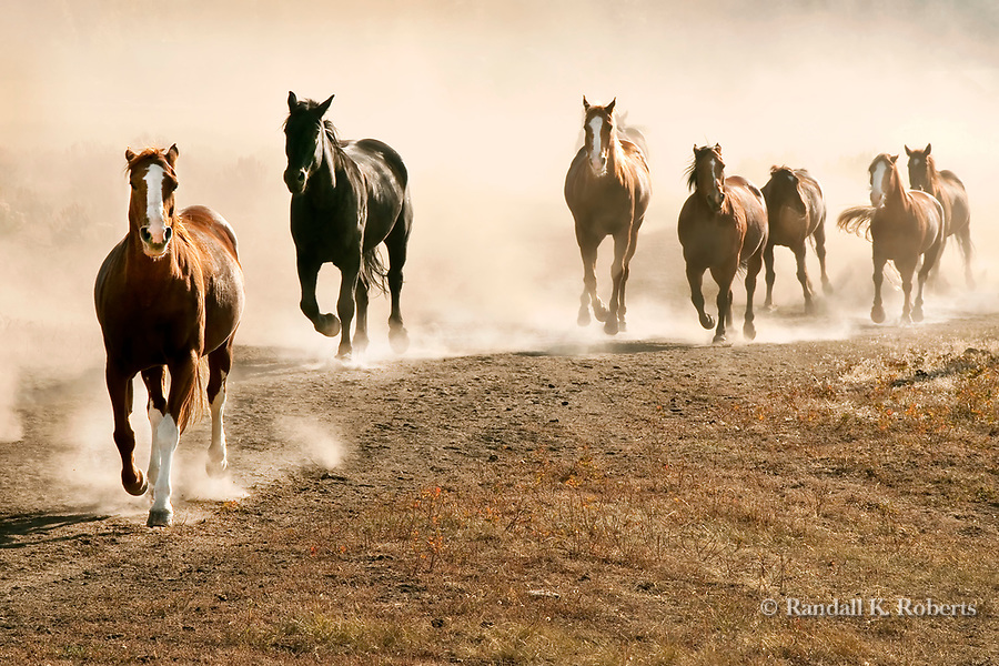 Horses run to their evening pasture at the Triangle X Ranch, Grand Teton National Park, Wyoming