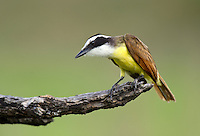 554810205 a wild great kiskadee pitangus sulphuratus perches on a dead mesquite tree limb on laguna seca ranch near edinburg texas united states
