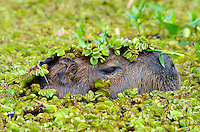 Capybara (Hydrochoerus hydrochaeris) head in water, Argentina, the largest living rodent.