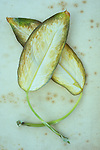 Two drying oval leaves cream with green and yellow borders of Dumb cane or Dieffenbachia lying on antique paper