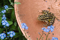 Northern Leopard frog (Rana pipiens) with wonderful spotted skin, with Myosotis forget-me-not flowers in copper birdbath