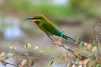 Blue-tailed Bee-eater (Merops philippinus) Yala National Park, Sri Lanka