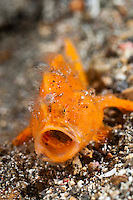 Juvenile hairy frogfish 'yawning', Lembeh Strait, Sulawesi, Indonesia. The Lembeh Strait in N Sulawesi is famous for its unusually high marine biodiversity, particularly of unusual animals that live on the exposed sand areas.