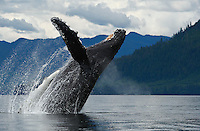 pu50827-D. Humpback Whale (Megaptera novaeangliae) breaching. Alaska, USA, Pacific Ocean..Photo Copyright © Brandon Cole. All rights reserved worldwide.  www.brandoncole.com..This photo is NOT free. It is NOT in the public domain. This photo is a Copyrighted Work, registered with the US Copyright Office. .Rights to reproduction of photograph granted only upon payment in full of agreed upon licensing fee. Any use of this photo prior to such payment is an infringement of copyright and punishable by fines up to  $150,000 USD...Brandon Cole.MARINE PHOTOGRAPHY.http://www.brandoncole.com.email: brandoncole@msn.com.4917 N. Boeing Rd..Spokane Valley, WA  99206  USA.tel: 509-535-3489