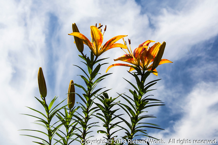 Three yellow and red Asiatic Lily blossoms and four buds not yet open against a blue sky with white clouds.