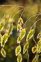 Oat Grass, Chasmanthium latifolium, backlit seed heads
