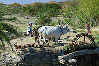 Farmer using pair of oxen to turn water wheel to draw water from well for irrigation in Pali District of Rajasthan, Western India