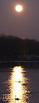 trumpeter Swans in golden light of the full moon.