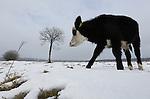 Foto: VidiPhoto<br /> <br /> RENKUM - Sneeuwschuivers zijn het. Met hun snuit moeten de pinken (blaarkoppen) woensdag in natuurgebied Broekhorst in Renkum (Veluwe) de sneeuw opzij schuiven om de laatste groene grassprietjes te vinden. De vleeskoeien van biologisch landbouwbedrijf Veld&amp;Beek van Jan Wieringa moeten deze week 'diep' gaan om onder de sneeuw nog wat te knagen vandaan te halen. Toch is bijvoeren niet nodig volgens Wieringa. De ossen zijn prima op gewicht en de temperatuur gaat bovendien weer stijgen. Broekhorst is tevens wandelgebied en passanten bellen nogal eens naar de Dierenbescherming om de 'zielige' koetjes 'aan te geven'. Dan wordt de wandelaars snel duidelijk gemaakt dat er nog voldoende vreten voorhanden is en dat de vacht van de dieren dik genoeg is om een flinke vorstperiode te overleven. Wieringa heeft in diverse natuurgebieden op dit moment 40 vleeskoeien buiten lopen. De rest (melkkoeien en jongvee) staat op stal.