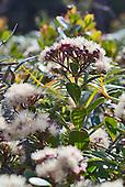 Syzygium multipetalum