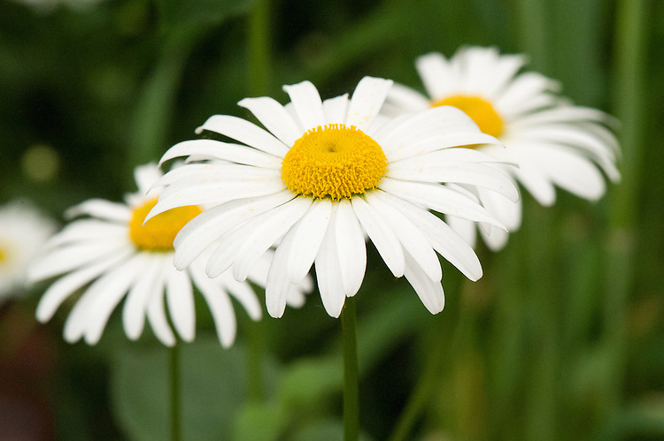 Leucanthemum vulgare (syn. Chrysanthemum leucanthemum), mid May. Commonly known as Ox-eye daisy or Moon daisy.
