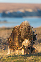 The long guard hair of the bull muskox blows in the arctic wind on the coastal plain, Alaska.