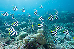Mulak Kandu, Mulaku Atoll, Maldives; a school of Schooling Bannerfish (Heniochus diphreutes) swimming over the hard coral reef