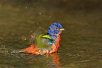 510440112 a wild male painted bunting passerina ciris bathes in a shallow pond in the rio grande valley of south texas