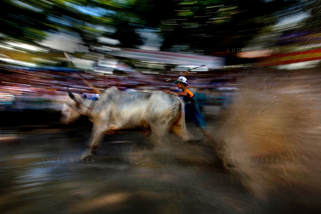 """Farmers race bulls during the annual """"Dua Bo - Cow Racing"""" competition in Tri Ton District in southern Vietnam near the Cambodian border on September 27, 2008..The bulls race in teams of two, controlled by jockeys who ride behind them on rake-like, wheelless buggies..The rectangular track, that is 160 meters long and 60 meters wide, is built on a rice paddy field and is filled with mud and water.  Each race includes three laps of the track totaling 1,320 meters until the finish line..The cow races brought 70 competitors and more than 30,000 spectators."""