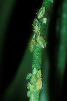 Closeup of Aphids insect pests on tender new plant growth