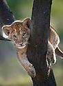 Lion cub (Panthera leo) about 3 months old, climbing a tree. Near Ndutu, Ngorongoro Conservation Area / Serengeti National Park, Tanzania.