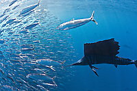 RG42539-D. Atlantic Sailfish (Istiophorus albicans) feeding on Spanish sardines (Sardinella aurita). Gulf of Mexico, Mexico, Caribbean Sea.<br /> Photo Copyright &copy; Brandon Cole. All rights reserved worldwide.  www.brandoncole.com