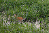 Flying over deer grazing in marshes
