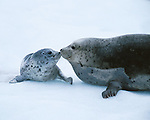Harbor seal and pup, Alaska, USA