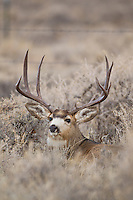 Wyoming mule deer buck during autumn rut (Odocoileus hemionus)
