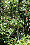 Amazonia, Brazil. Amazonian forest with palm trees; biodiversity in secondary growth forest.