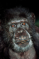 Chimpanzee face (Pan troglodytes). Captivity.