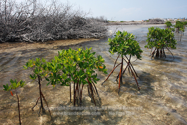 qa70614-D. a few Red Mangrove (Rhizophora mangle) trees growing where once many thrived before development of the Bimini Bay Resort destroyed vital mangrove habitat. Bimini, Bahamas, Atlantic Ocean. .Photo Copyright © Brandon Cole. All rights reserved worldwide.  www.brandoncole.com..This photo is NOT free. It is NOT in the public domain. This photo is a Copyrighted Work, registered with the US Copyright Office. .Rights to reproduction of photograph granted only upon payment in full of agreed upon licensing fee. Any use of this photo prior to such payment is an infringement of copyright and punishable by fines up to  $150,000 USD...Brandon Cole.MARINE PHOTOGRAPHY.http://www.brandoncole.com.email: brandoncole@msn.com.4917 N. Boeing Rd..Spokane Valley, WA  99206  USA.tel: 509-535-3489
