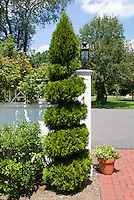 Twisted shaped spiral evergreen tree Chamaecyparis Leyland cypress for shape in the garden, with brick patio, home landscaping wall fence, blue sky and clouds, container plants