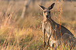 Undara Volcanic National Park, Queensland, Australia; a female Eastern Grey Kangaroo (Macorpus giganteus) with a joey in it's pouch, feeding on grasses in early morning light