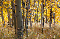 """Aspen at Fredrick's Meadow 3"" - Photograph of yellow aspen trees in the fall at Fredrick's Meadow near Fallen Leaf Lake, California."