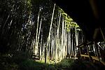 Hokokuji, Jomyoji and Tsurugaoka Hachimangu, Kamakura, Japan on 24 Jan. 2012. Photographer: Robert GilhoolyPhoto shows the bamboo grove in the grounds of Hokokuji temple in Kamakura, Japan on 24 Jan. 2012. Photographer: Robert Gilhooly