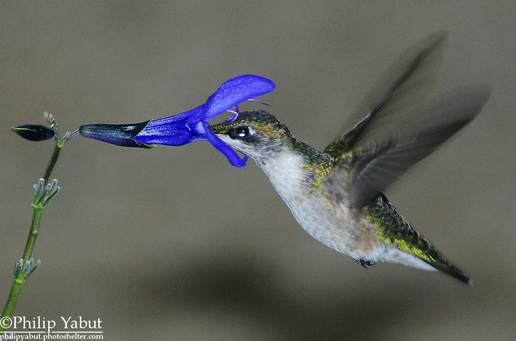 A hummingbird's tiny feathers give a colorful glossy shine when the light is just right.<br />