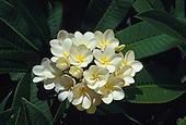 White and yellow plumeria, or frangipani (apocynacae)