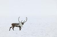 Bull caribou walks across the snow covered tundra of Alaska's arctic north slope.