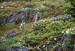 Arctic wolf pup, Yellowknife region, Northwest Territories, Canada