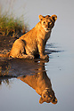 Tanzania, Ngorongoro Conservation Area, Ndutu, lion cub at waterhole