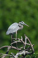 Great Blue Heron (Ardea herodias) standing near its nest in a rookery