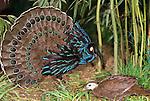 Palawan peacock-pheasant, Island of Palawan, Philippines