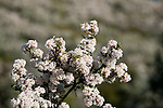 California wildflower travel: White lilacs at Mt. Diablo State Park.Photo copyright Lee Foster.  Photo # cawild102264