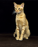 Red Oriental domestic cat adult