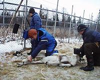 Eva Wilks og veterinær Per Storli, bq-måling, Snåsa. Southsami reindeer herding in Mid-Norway. Låarte Sijte. Radioaktivt nedfall fra Tsjernobyl-ulykken i 1986 merkes fortsatt i reindriften i Nord-Trøndelag.