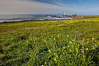 With purple and yellow flowers in the foregournd and Pigeon Point lighthouse in the background, this is winter on California's coast.