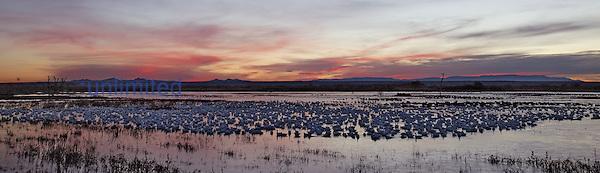 Snow Geese at dawn ,Chen caerulescens,, Bosque Del Apache, New Mexico, USA.