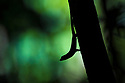 Silhouette of Anole lizard {Anolis sp.}. Corcovado National Park, Osa Peninsula, Costa Rica, May.